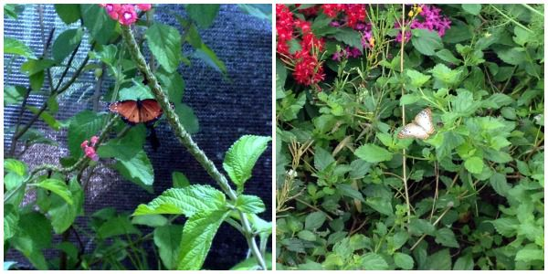 The beautiful butterfly garden at Epcot.
