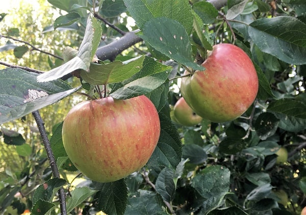 fresh apples hanging on a tree